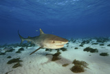 A Tiger Shark Cruises the Seafloor at Tiger Beach  a Popular Dive Site in the Bahamas
