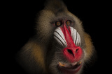 A Federally Endangered Mandrill  Mandrillus Sphinx  at the Gladys Porter Zoo