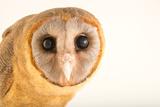 An Ashy Faced Owl  Tyto Glaucops  at Parque Zoologico Nacional