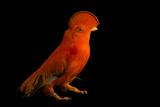 A Male Guianan Cock of the Rock  Rupicola Rupicola  at the Dallas World Aquarium