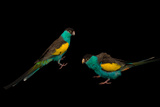 Two Hooded Parakeets  Psephotus Dissimilis  at Sylvan Heights Bird Park