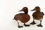 Ferruginous Ducks  Aythya Nyroca  at Sylvan Heights Bird Park