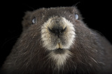 A Critically Endangered Vancouver Island Marmot  Marmota Vancouverensis
