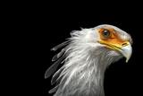 A Vulnerable Secretary Bird  Sagittarius Serpentarius  at the Toronto Zoo