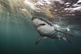 A Great White Shark Swims in Waters Off the Neptune Islands