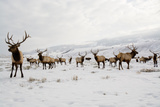 Elk in the 24 700-Acre National Elk Refuge Near Jackson  Wyoming
