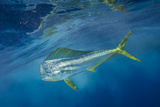 A Dorado or Mahi-Mahi Swims in the Waters Off Cat Island in the Bahamas