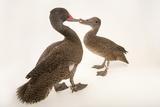 Two Freckled Ducks  Stictonetta Naevosa  at Sylvan Heights Bird Park