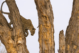 A Leopard Descending from a Tree in the Okavango Delta's Khwai Concession