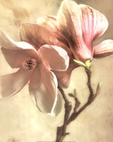 Pink Magnolia I
