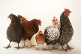 A Plymouth Barred Rock  Silver Laced Wyandotte  Nh Red  and Black Sex Link and Bantam Hen