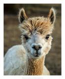 Alpaca Portrait V Reproduction d'art par Tyler Stockton