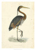 Vintage Purple Heron