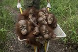 A Keeper Transports a Group of Juvenile Orangutans by Wheelbarrow