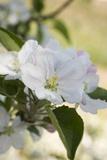 Apple Blossom on Branch