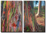Rainbow Eucalyptus Detail  Hawaii
